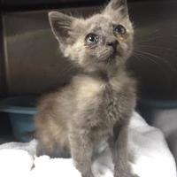 Domestic Shorthair/Domestic Shorthair Mix Cat for adoption in Clarkesville, Georgia - Turtledove