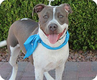 American Bulldog/Pit Bull Terrier Mix Dog for adoption in Las Vegas, Nevada - TINKERBELL