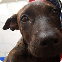 Adopt A Pet :: LACEY - Albuquerque, NM