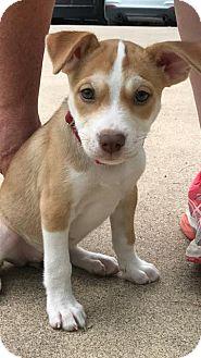 Hound (Unknown Type)/Boxer Mix Puppy for adoption in Rockville, Maryland - Babe Vixen