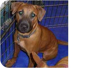 Boxer/Hound (Unknown Type) Mix Dog for adoption in Tucson, Arizona - Flo