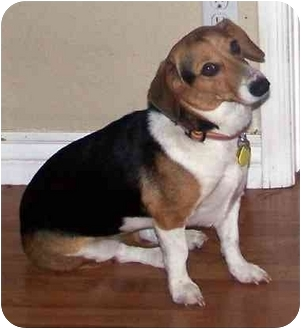 Beagle Mix Dog for adoption in Phoenix, Arizona - Murry