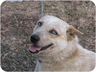 Australian Cattle Dog Mix Dog for adoption in Drumright, Oklahoma - Red