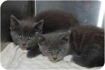 Russian Blue Kitten for adoption in Putnam Hall, Florida - Ranger