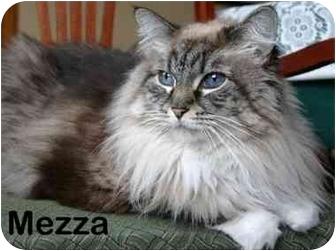 Siamese Cat for adoption in Portland, Oregon - Mezza