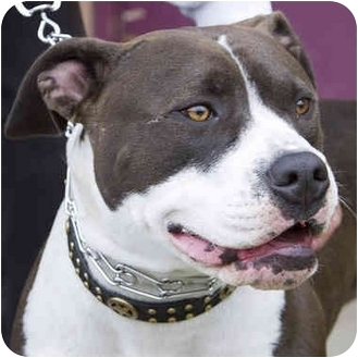American Pit Bull Terrier Mix Dog for adoption in Berkeley, California - Buffy