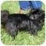 Photo 3 - Pekingese Dog for adoption in North Wilkesboro, North Carolina - Olivia