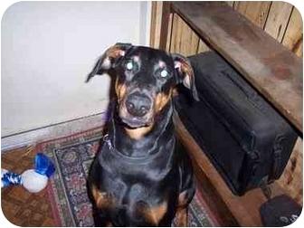 Doberman Pinscher Dog for adoption in Green Cove Springs, Florida - Zena
