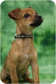 Terrier (Unknown Type, Small)/Terrier (Unknown Type, Small) Mix Puppy for adoption in Broomfield, Colorado - Bally