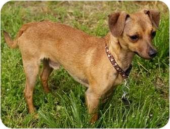 Chihuahua Mix Dog for adoption in Yuba City, California - *Vitvam