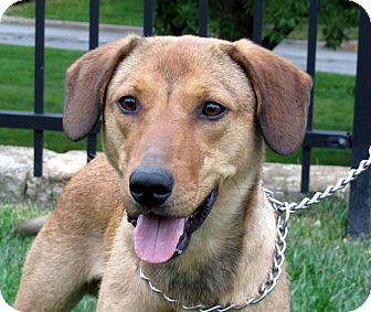 German Shepherd Dog/Beagle Mix Dog for adoption in Overland Park, Kansas - Boomer