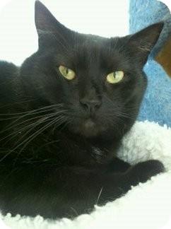 Domestic Shorthair Cat for adoption in Richboro, Pennsylvania - Little One