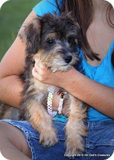 Schnauzer (Miniature)/Poodle (Miniature) Mix Puppy for adoption in Weatherford, Texas - *SASSY*