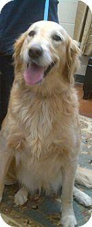 Golden Retriever Dog for adoption in BIRMINGHAM, Alabama - Bruno