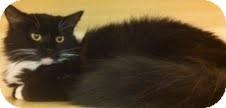 Domestic Mediumhair Cat for adoption in Modesto, California - Sweetie