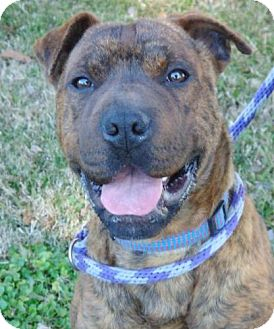 Shar Pei Mix Dog for adoption in Red Bluff, California - Harbor-URGENT