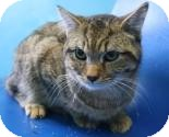 Domestic Shorthair Cat for adoption in West Des Moines, Iowa - Bob