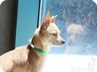 Chihuahua Dog for adoption in Sherman Oaks, California - Bradley