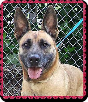 Belgian Malinois Mix Dog for adoption in Marietta, Georgia - LILY - see video