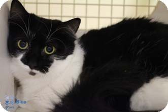 Domestic Shorthair Cat for adoption in Merrifield, Virginia - Blue
