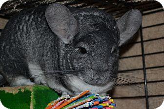 Chinchilla for adoption in Lindenhurst, New York - Edward