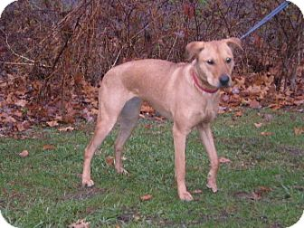 Shepherd (Unknown Type) Mix Dog for adoption in New Castle, Pennsylvania - Lilly