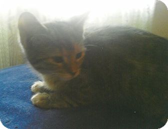 Domestic Shorthair Kitten for adoption in Clarksville, Tennessee - Maxine