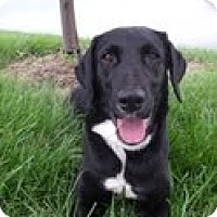 Adopt A Pet :: MAggie Moo - Lewisville, IN