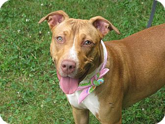 Hound (Unknown Type)/Pit Bull Terrier Mix Dog for adoption in Voorhees, New Jersey - Maggie May