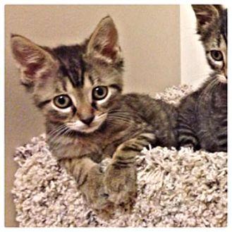 Domestic Shorthair Kitten for adoption in Ladysmith, Virginia - Eliot