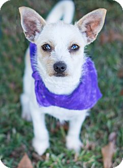 Terrier (Unknown Type, Small) Mix Dog for adoption in Glastonbury, Connecticut - Trixie