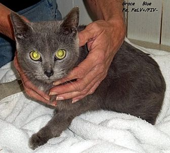 Domestic Mediumhair Cat for adoption in Hazard, Kentucky - Grace