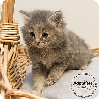 Domestic Mediumhair Kitten for adoption in Troy, Ohio - Betty Adopted