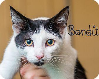Domestic Shorthair Kitten for adoption in Somerset, Pennsylvania - Bandit