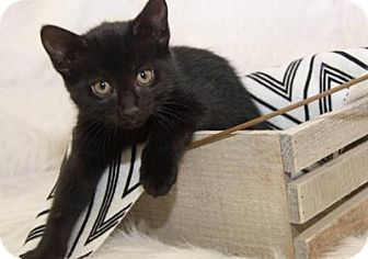 Bombay Kitten for adoption in Cincinnati, Ohio - Poppy: Delhi