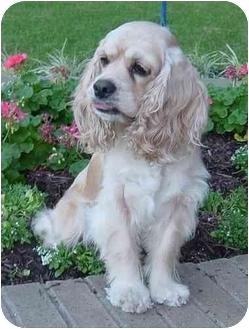 Cocker Spaniel Dog for adoption in Sugarland, Texas - Gretta
