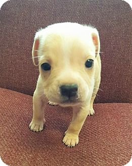 Staffordshire Bull Terrier Mix Puppy for adoption in Umatilla, Florida - Peanut