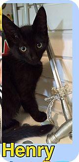 Domestic Shorthair Kitten for adoption in Brentwood, New York - Henry