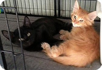 Domestic Shorthair Kitten for adoption in Galloway, New Jersey - Peanut