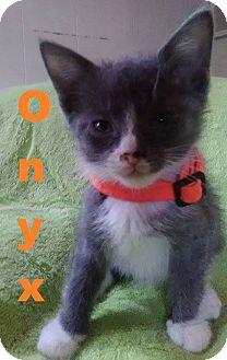 Domestic Shorthair Kitten for adoption in Flint, Michigan - Onyx