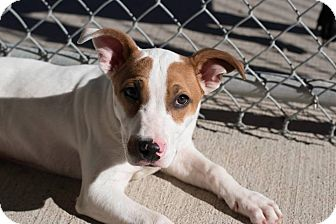 Jack Russell Terrier/Labrador Retriever Mix Puppy for adoption in Indianapolis, Indiana - Huckleberry