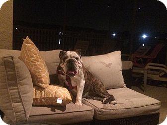 English Bulldog Dog for adoption in Odessa, Florida - penny