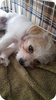 Shih Tzu Mix Puppy for adoption in Fort Atkinson, Wisconsin - Ringo