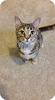 Domestic Shorthair Cat for adoption in Fredericksburg, Virginia - Nibbles