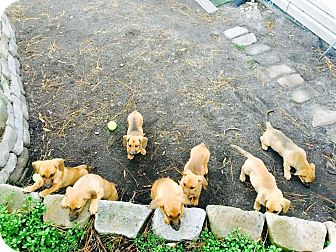 Dachshund/German Shepherd Dog Mix Puppy for adoption in Forest Hill, Maryland - Flo