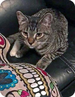 Domestic Shorthair Kitten for adoption in Queens, New York - Misty