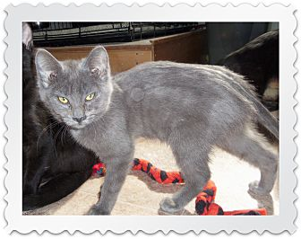 Russian Blue Kitten for adoption in Medford, Wisconsin - NATASHA