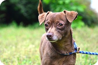 Chihuahua Mix Dog for adoption in Chester, Connecticut - Theo