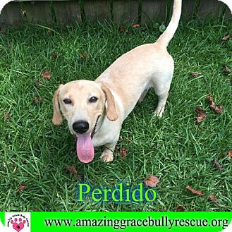 Dachshund/Beagle Mix Dog for adoption in Pensacola, Florida - Perdido