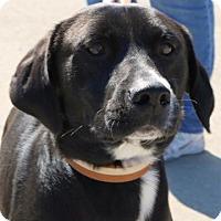 Adopt A Pet :: Blackjack - Sugar Grove, IL